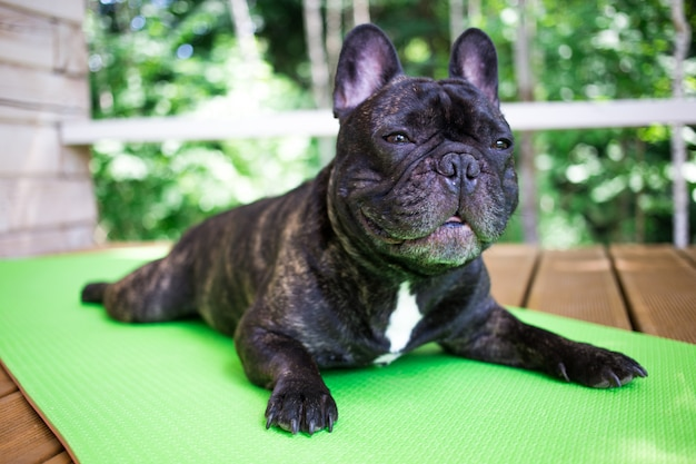 Die gestromte französische bulldogge, die auf dem yogateppich auf der terrasse im sommer, hunde liegt, wirft auf