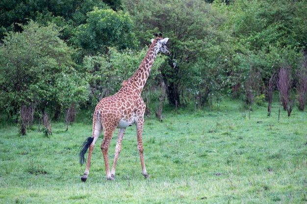 Die giraffe rennt zwischen bäumen und büschen