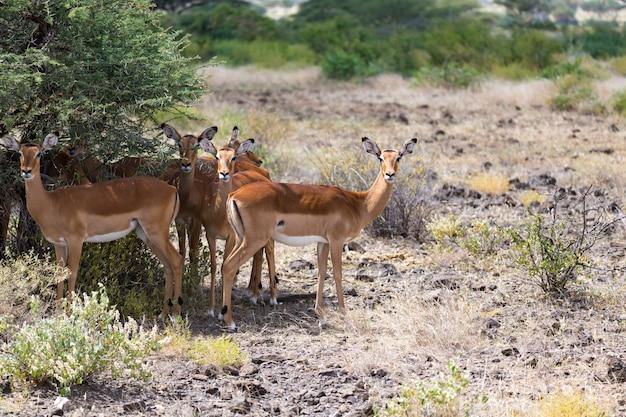 Die grant gazelle weidet in der weite der kenianischen savanne
