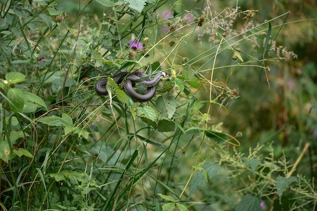 Die grasschlange hängt an einem ast, der in einer schleife gewickelt ist