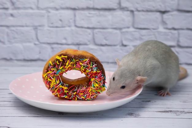 Die graue ratte schnüffelt und isst einen süßen bunten donut. nicht auf diät. geburtstag