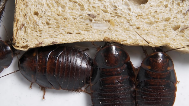 Die große kakerlake sitzt auf einem stück brot in einem teller und isst brot. heimische insekten.