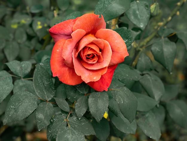 Die große orange rose ist wunderschön