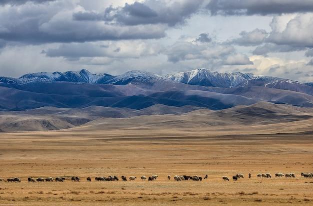 Die große schaf- und ziegenherde weidet in der steppe in der nähe der berge. herbst. westmongolei