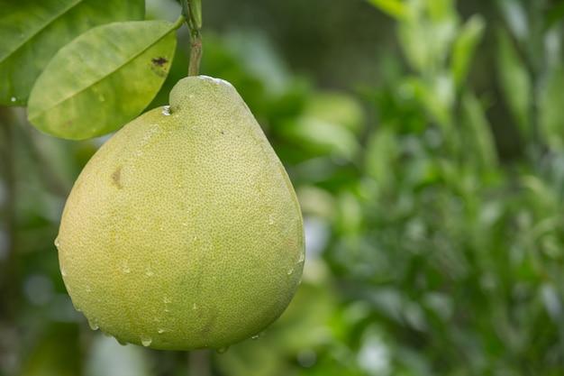 Die grüne grapefruit wird auf die zweige gelegt und hat eine natürliche unschärfe im rücken.