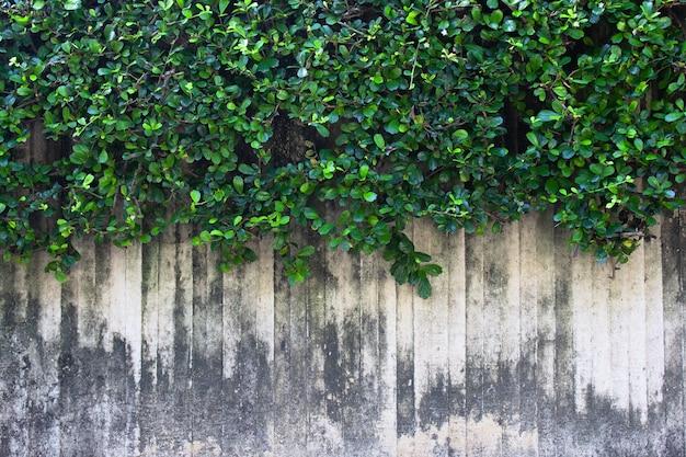 Die grüne kriechpflanze auf der wand. rebzweig auf wandhintergrund.