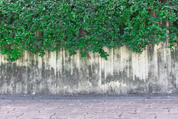 Die grüne kriechpflanze auf der wand