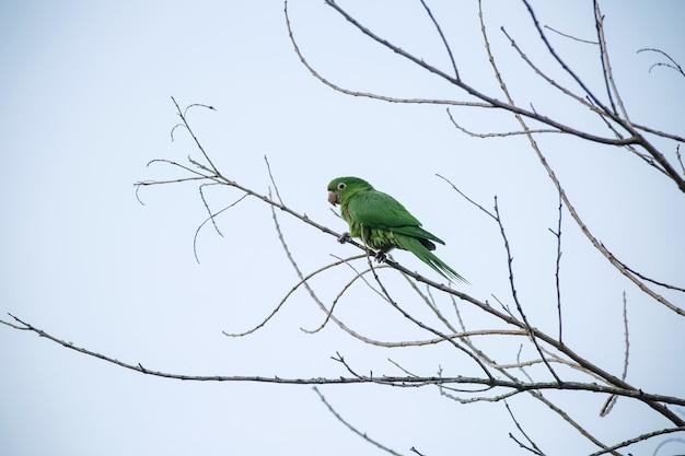 Die grüne maitaca im baum mit dem blauen himmel in der schönen sommerlandschaft