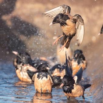 Die gruppe des rosigen starling sturnus roseus, der im wasser planscht