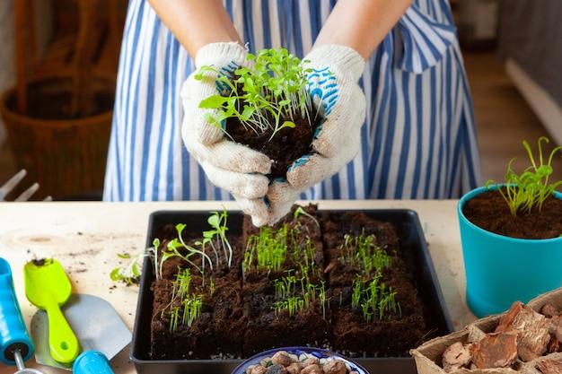 Die hände der frau, die sprösslinge im topf mit schmutz oder boden im behälter pflanzen