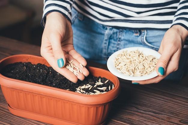 Die hände der frauen mit heller maniküre werden in samen eines topfes gegossen, um pflanzen zu züchten