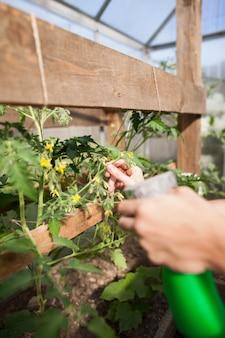 Die hände des jungen mannes, die die blumen mit wasser besprühen, bestehen aus dünger und nährstoffen für gemüse