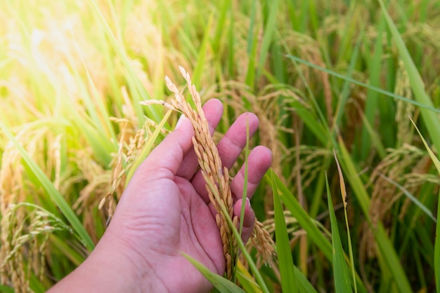 Die hände des landwirts halten einen goldenen reis, er steht kurz vor der ernte.