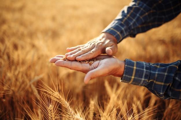 Die hände des landwirts reiben weizenkörner, um die qualität der ernte zu überprüfen