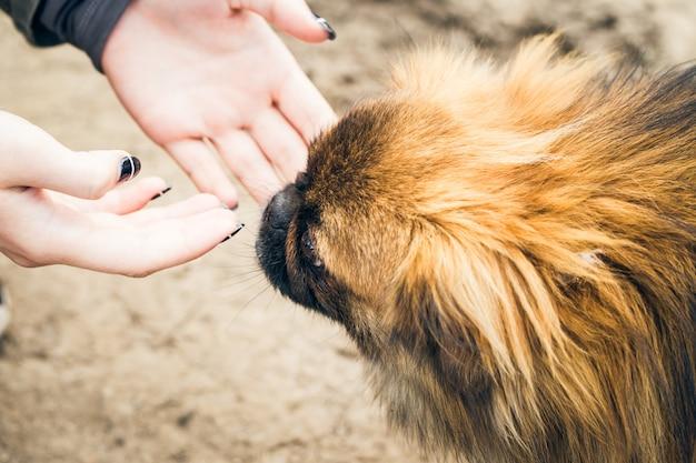 Die hände des mädchens und ein niedlicher pekingese hund