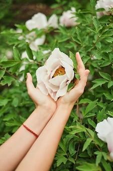 Die hände des weiblichen mädchens, die kleine weiße blumen bush spielend halten.