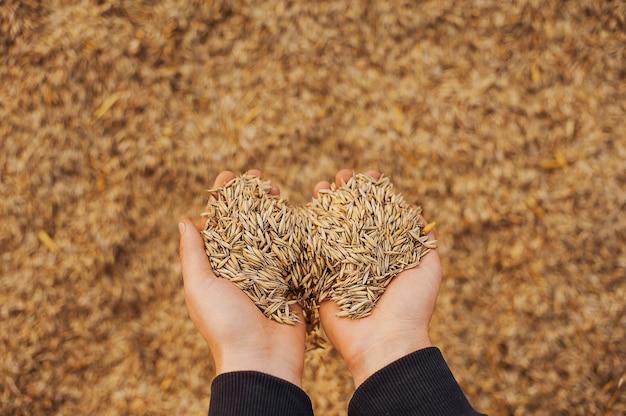 Die hände einer landwirtnahaufnahme, die eine handvoll weizenkörner hält