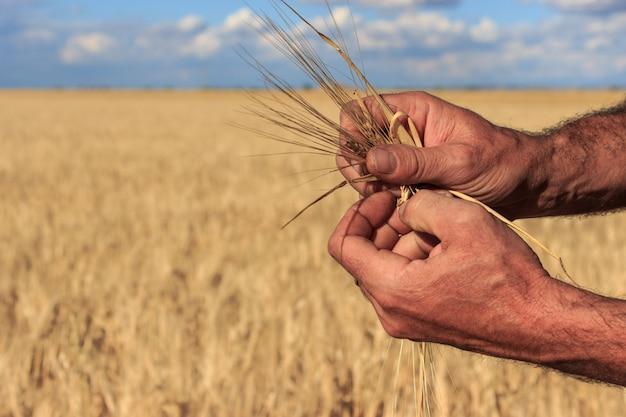 Die hände eines bauern, der einige weizenähren auf einem weizenfeld nahe bei sich hielt. konzept der landwirtschaft.