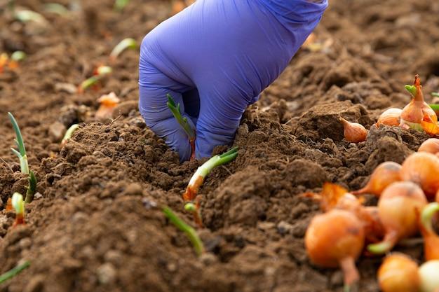 Die hand der bauernfrauen in einem blauen handschuh, der zwiebeln im garten pflanzt.