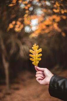 Die hand der frau, die gelbes eichenblatt gegen herbstlichen wald hält. saisonales konzept. die farben und die stimmung des herbstes.
