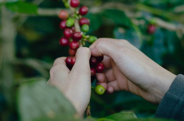 Die hand der frau, die reife kaffeebohnen sammelt. kaffeepflanzenzweig.