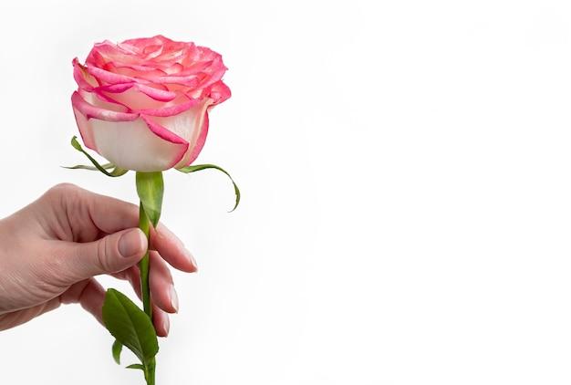 Die hand der frau hält rosa rose. nahansicht. weiße oberfläche.
