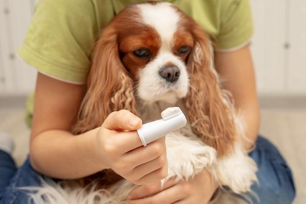 Die hand des besitzers hält eine zahnbürste mit zahnpasta für den hund cavalier king charles spaniel. nahaufnahme, selektiver fokus