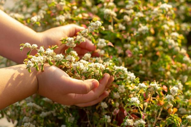 Die hand des mädchens betritt die weißen blüten des morgens