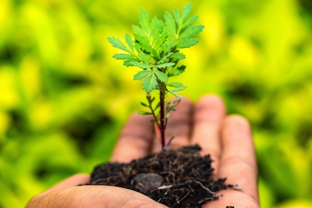 Die hand des mannes hält pflanze einen baum aus thailand land