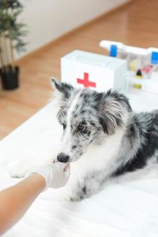 Die hand des weiblichen tierarztes, die den hund in der klinik einzieht