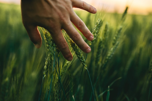 Die hand, die die grünen weizenspitzen bei sonnenuntergang berührt