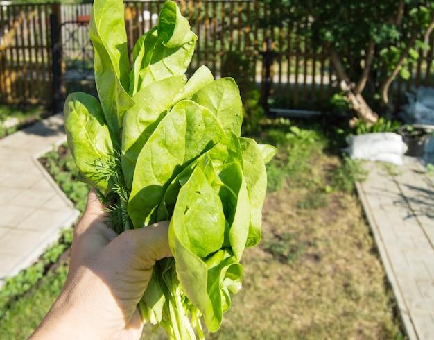 Die hand einer frau hält einen frisch geschnittenen haufen junger grüner spinat, im freien, helles sonnenlicht und schatten, nahaufnahme.
