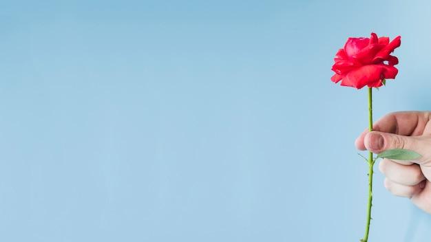 Die hand einer person, die rotrosenblume gegen blauen hintergrund hält