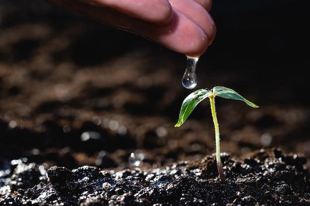 Die hand eines bauern gießt wasser auf einen jungen pflanzenspross. aus dem boden gekeimt