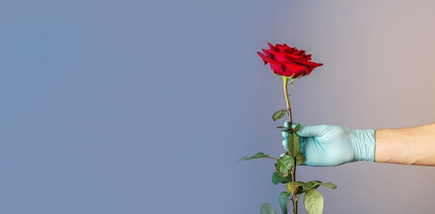 Die hand eines mannes in einem blauen schutzhandschuh hält und gibt eine rote rose