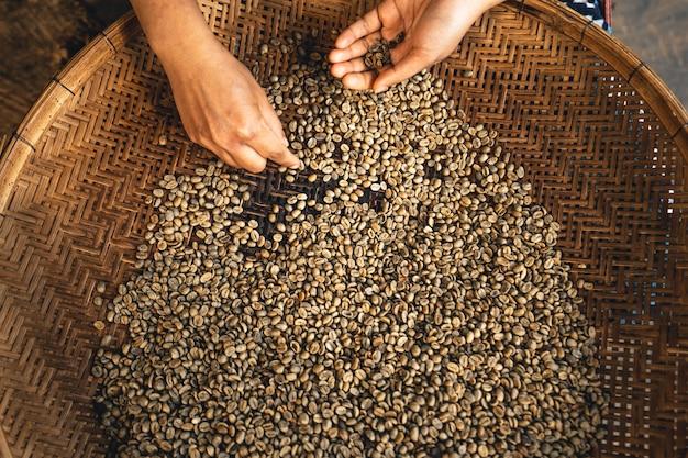 Die hand sortiert die kaffeebohnen, bevor sie geröstet werden.