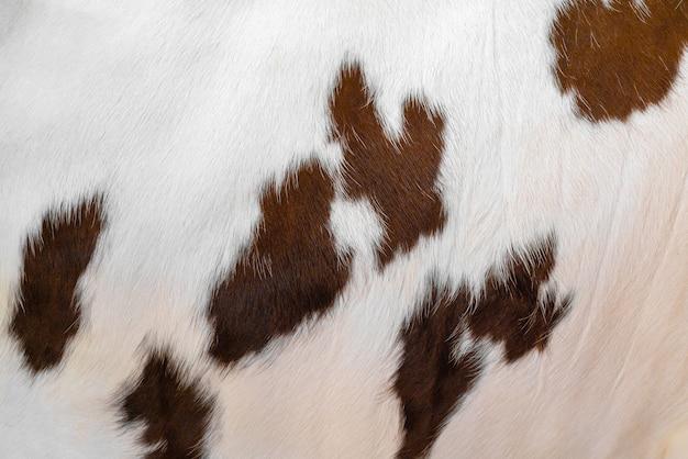 Die haut einer weißen kuh mit braunen flecken. tierisches fell. natürlicher hintergrund. warme flauschige oberfläche.
