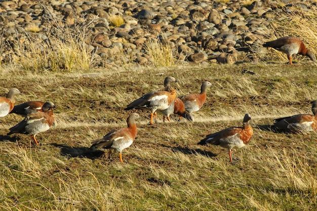 Die herde der royal cauquenes stammt aus einer entenfamilie und kann im grasland gesehen werden.