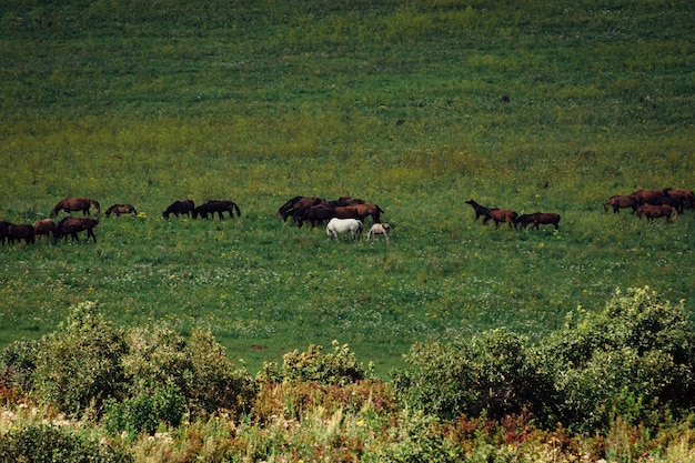 Die herde von pferden weidet auf einer wiese. ein fohlen springt um ein weißes pferd.