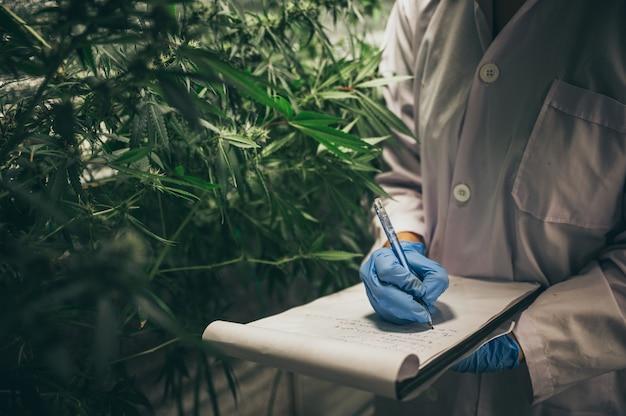 Die herstellung von pflanzlichen arzneimitteln aus marihuana im medizinischen experiment