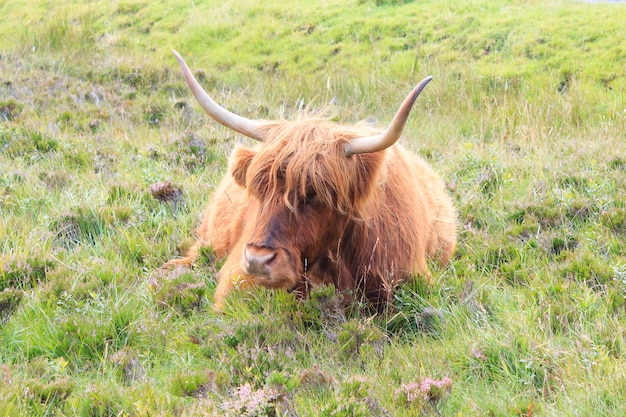 Die hochlandkuh. alte rasse schottischer rinder. tier