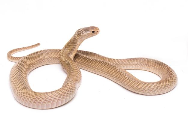 Die javan spuckt kobra auf leerraum