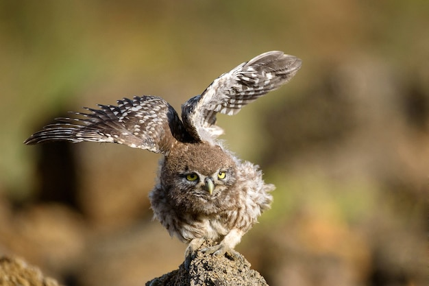 Die junge kleine eule (athene noctua) sitzt auf einem felsen und breitet ihre flügel aus.