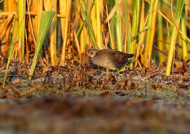 Die junge wasserralle (rallus aquaticus) im sanften morgenlicht.
