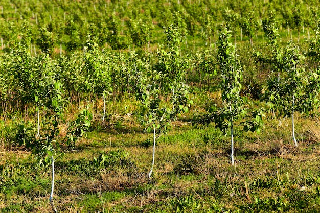 Die jungen obstbäume fotografierten in einer frühlingssaison in einem obstgarten