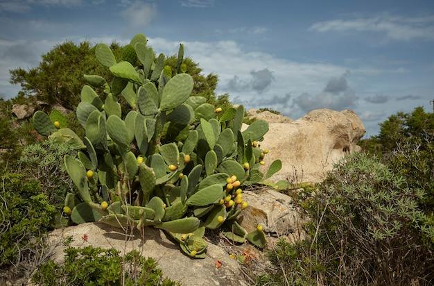 Die kaktusfeigenpflanze wächst wild zwischen den felsen der hügel südsardiniens.