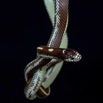 Die kalifornische königsschlange
