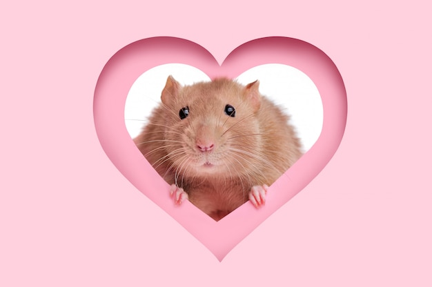 Die karte des valentinsgrußes mit herzrahmen und einer ratte, die aus ihr heraus schaut
