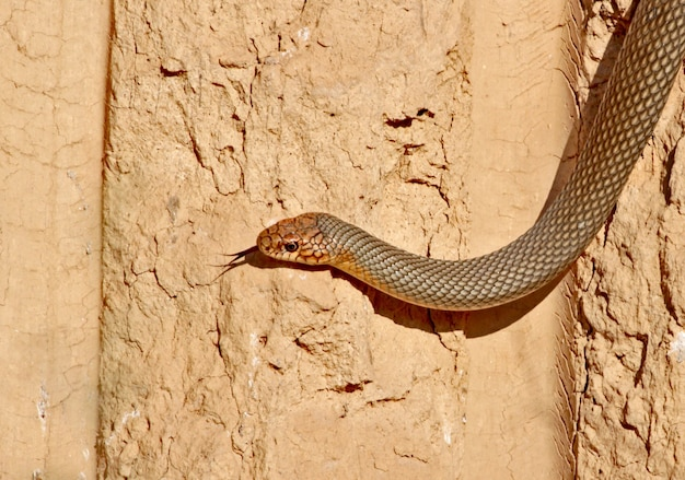 Die kaspische peitschenschlange (dolichophis caspius) kriecht entlang der senkrechten lehmwand zu den nestern des bienenfressers