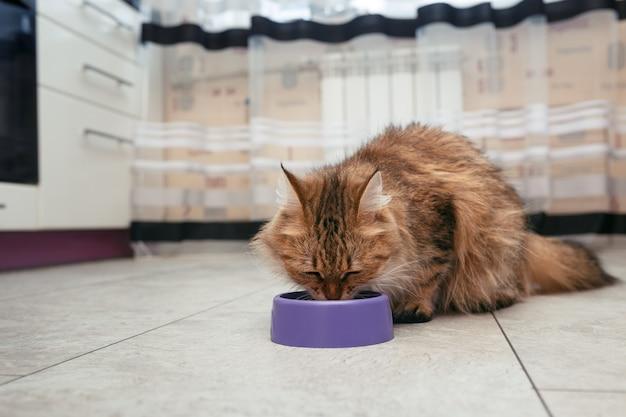 Die katze frisst aus ihrer schüssel. die norwegische waldkatze frisst futter vom boden aus ihrem geschirr